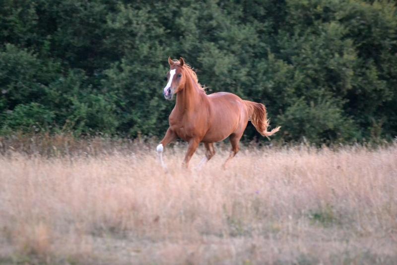 Heldon, PSAR ataxique, un cheval que l'on vouvoie Dsc_0713