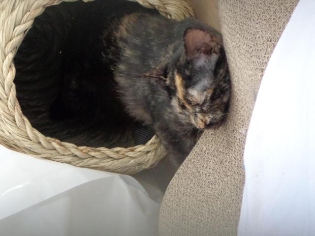 MYSTIQUE (ex-ONDINE) - chatte femelle, née 2014 - (PASCANI) - adoptée par Emilie B. (dpt 69) - Page 2 Dsc02115