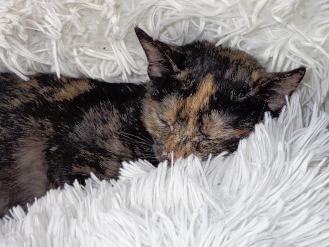 MYSTIQUE (ex-ONDINE) - chatte femelle, née 2014 - (PASCANI) - adoptée par Emilie B. (dpt 69) - Page 4 Dsc03011