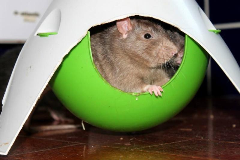 Les rats de Skip' Bignes11