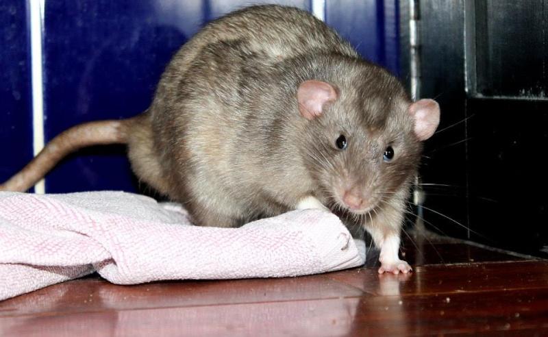 Les rats de Skip' Blueey10