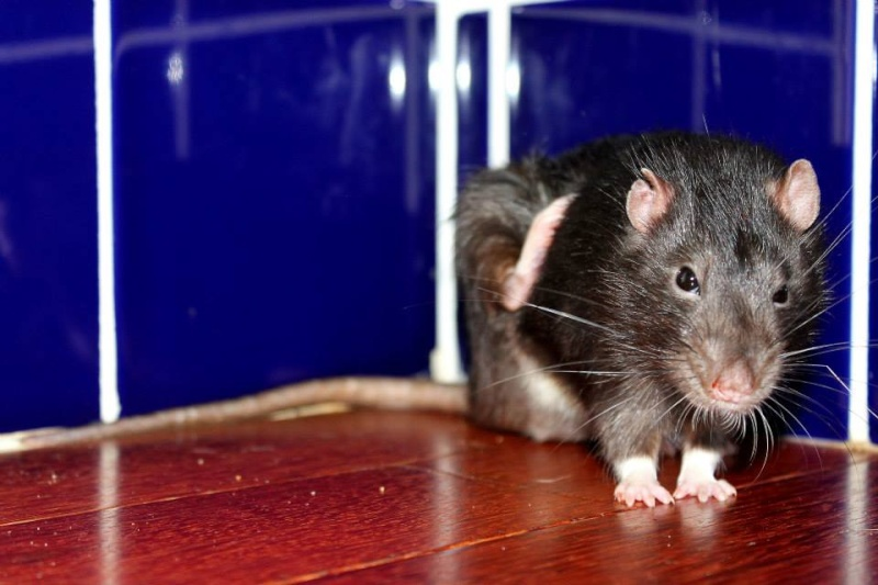 Les rats de Skip' Jasper11