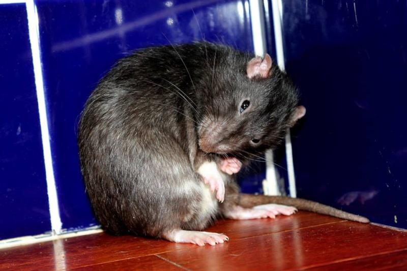 Les rats de Skip' Oddjas10