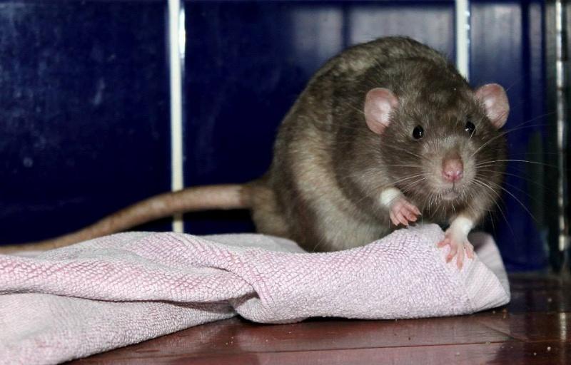 Les rats de Skip' Pretty11