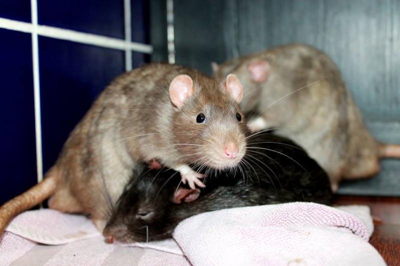 Les rats de Skip' Pretty12