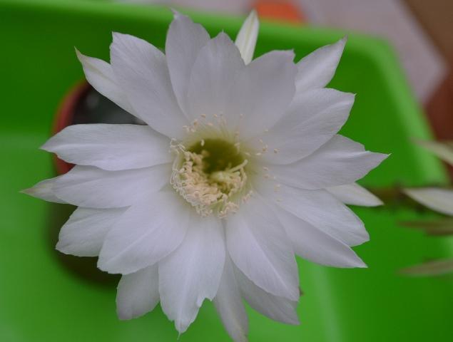 Flowers Flowers Flowers!! 2014-15 Flower thread. - Page 3 Echino10
