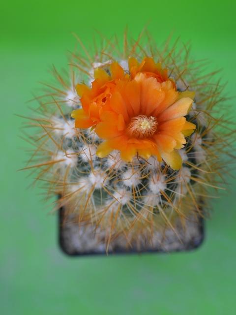 Flowers Flowers Flowers!! 2014-15 Flower thread. - Page 3 Parodi10