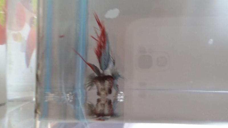 Helios: nouveau petit... crowntail! Photos!!! 20150614