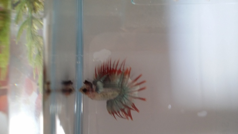 Helios: nouveau petit... crowntail! Photos!!! 20150615