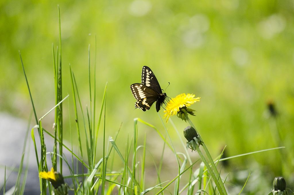Papillon sur pissenlit 1510