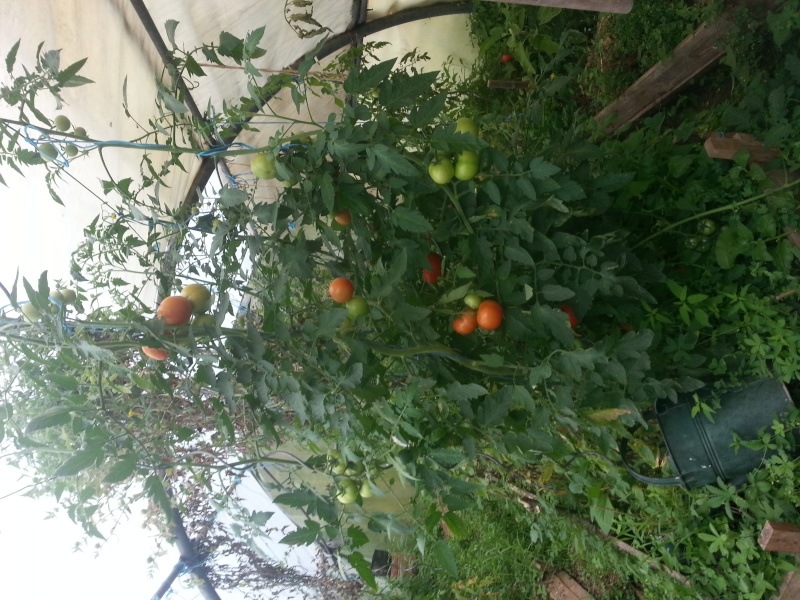 greffer des tomates 20150711