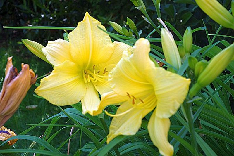 Hemerocallis - Taglilien - Schönheiten im Juni und Juli - Seite 6 Dsc01434
