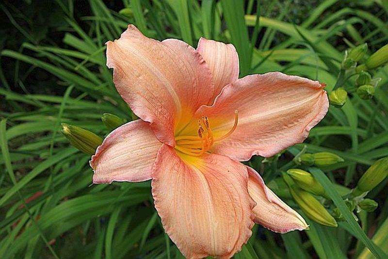 Hemerocallis - Taglilien - Schönheiten im Juni und Juli - Seite 6 Dsc01435
