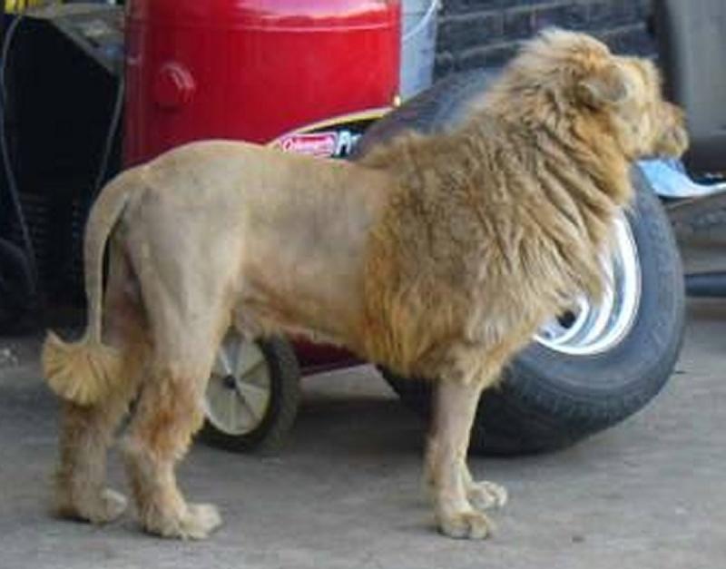 Antivol... Lion_110