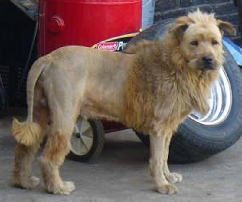 Antivol... Lion_210