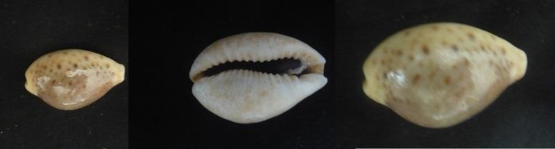 Cypraeidae Turdus du Soudan ? à déterminer 00122