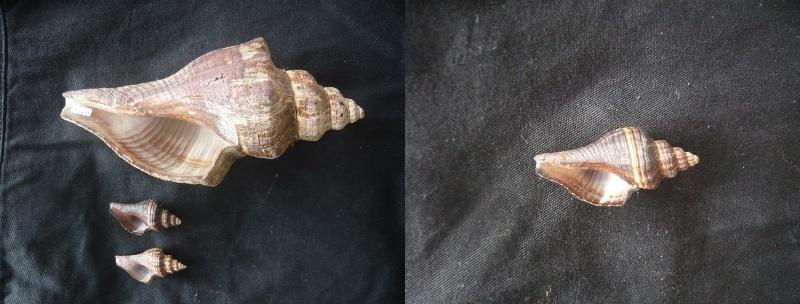 Pugilina morio (juvénile)  00130