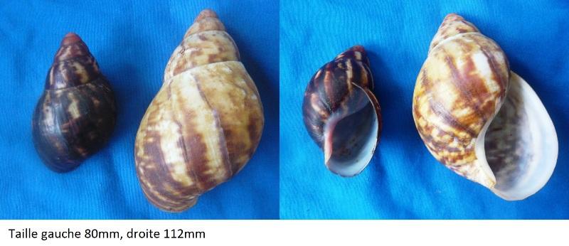 Archachatina marginata (Swainson, 1821) 00210