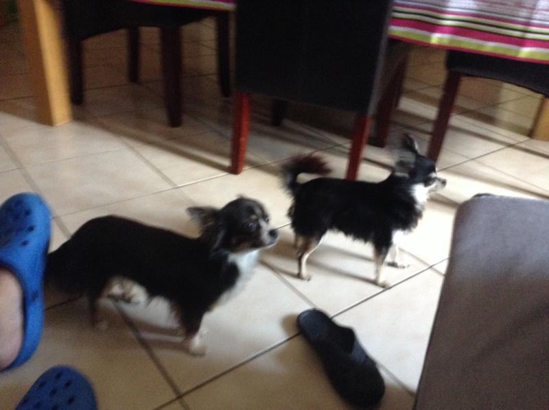 Deux chihuahua bien dans leur pattes!! Image15