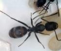Colonie de Camponotus vagus Campon13