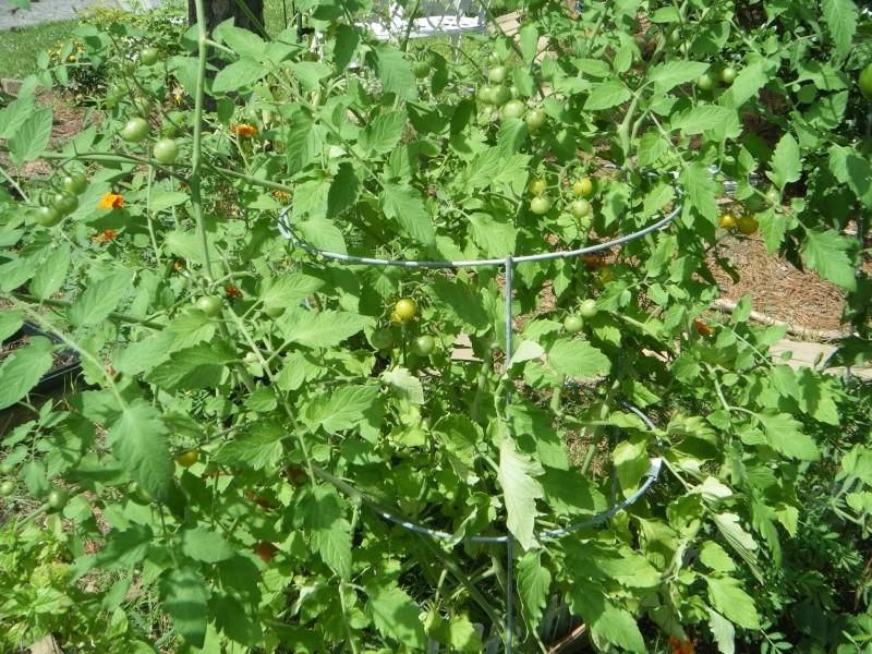 Tomato Tuesday 2015 - Page 10 Garden20