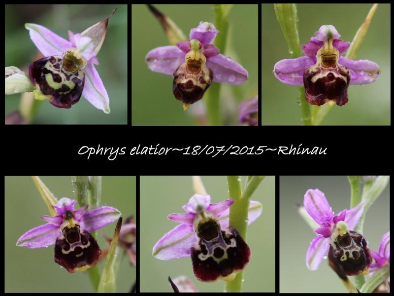 Ophrys elatior ( Ophrys élevé ) Ela1210