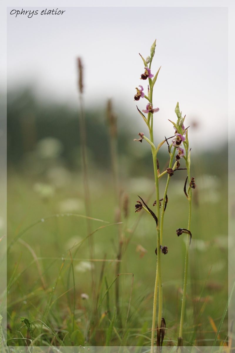 Ophrys elatior ( Ophrys élevé ) Ela910