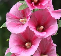 Post a name of a flower or shrub - Page 10 Holly10