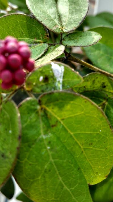 bonsai pest on powder puff Aphids10