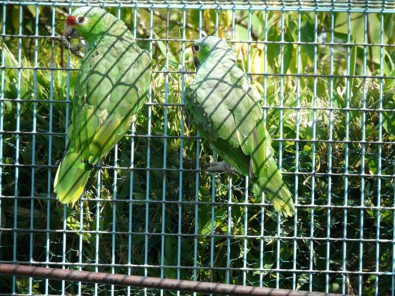 Visite d'un élevage de perroquets. P1160415