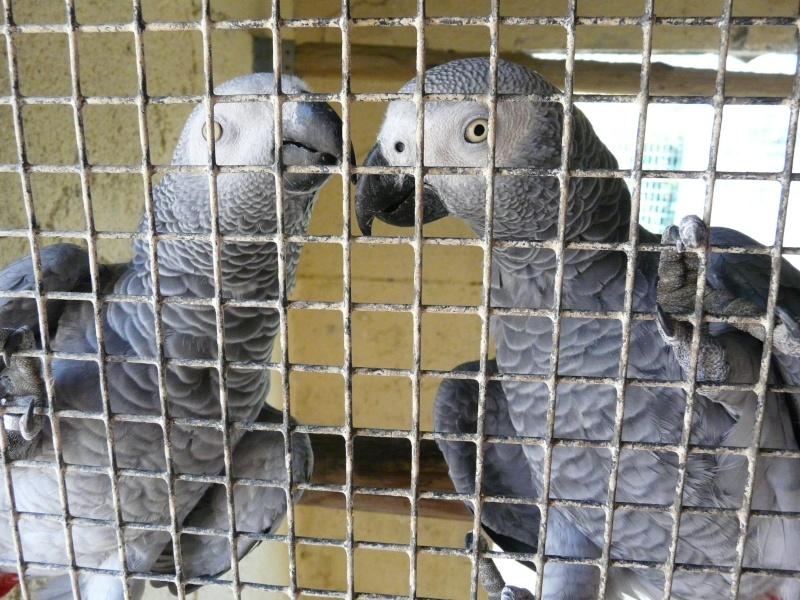 Visite d'un élevage de perroquets. P1160416