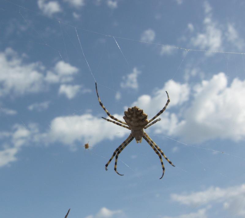 [Argiope lobata] Identification araignée Img_4210