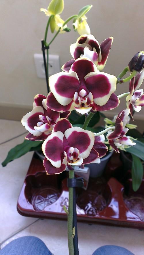 nouvelles orchidées Phal_c10