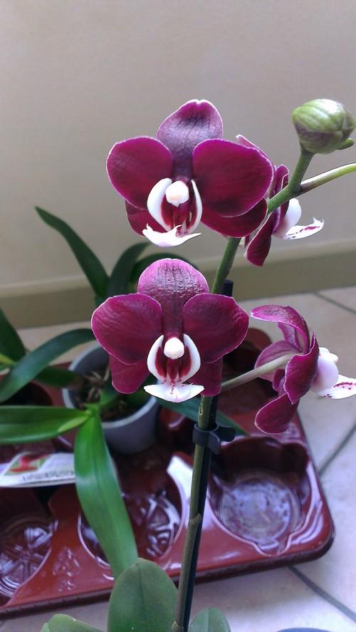 nouvelles orchidées Phal_k10