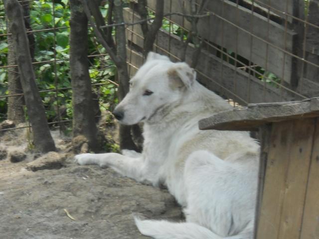 DULCE - Magnifique femelle Blanche - née en 2009 - Parrainée par Samie -SOS-FB-R-SC-  - Page 2 Dulce510