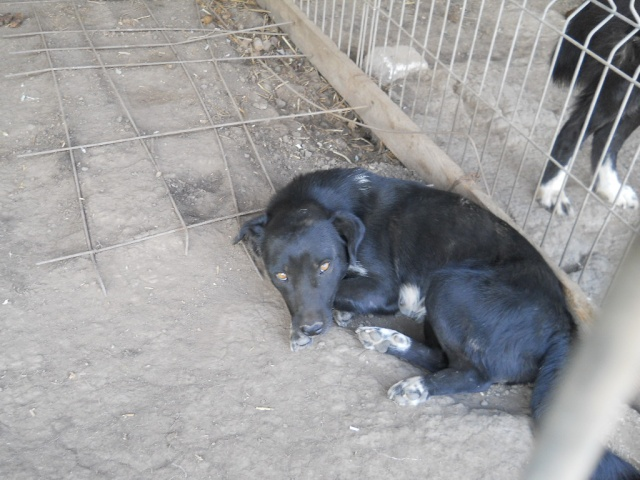 LAHIKA née en 2013 sauvée d'Oltenita (EN FA DANS LE DEPT 95) -  Lahika11