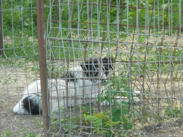 macumba - MACUMBA -type petit griffon née en 2010 - marrainée par Yemtsi - R- SOS-SC Macumb10