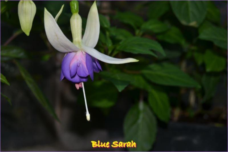 premieres fleures Blue_s10