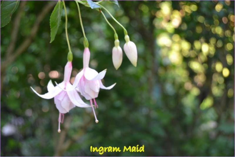 premieres fleures Ingram10