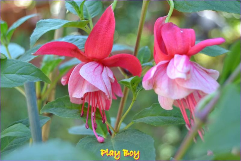premieres fleures Play_b10