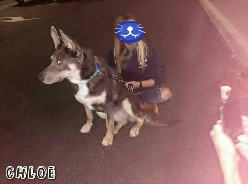 Chloé - croisée berger allemand - née en 2010 Chloe10