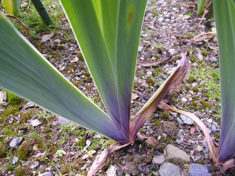Un violet pourpre unicolore P1010014
