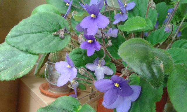 Les violettes africaines / violettes du cap(Saint Paulia). Entretien, espèces, des photos. 20150410