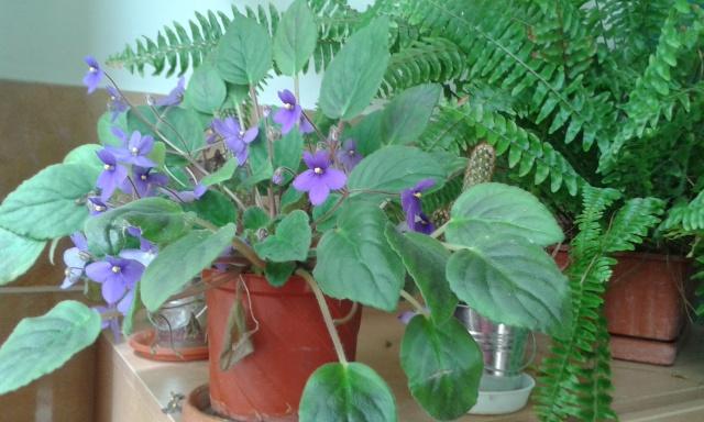 Les violettes africaines / violettes du cap(Saint Paulia). Entretien, espèces, des photos. 20150411