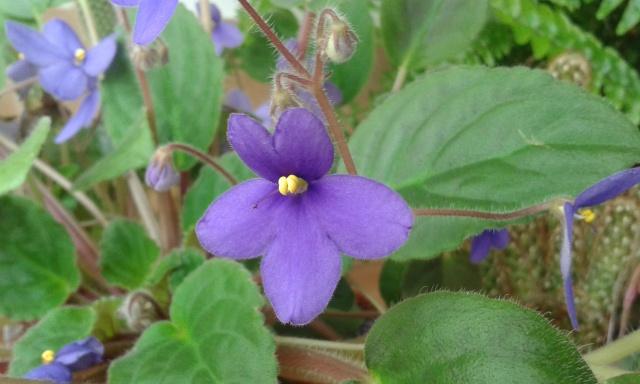 Les violettes africaines / violettes du cap(Saint Paulia). Entretien, espèces, des photos. 20150412