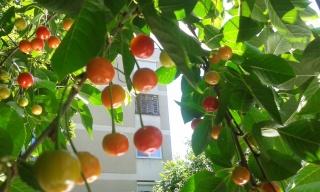 La récolte des fruits 20150610