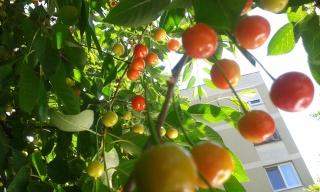 La récolte des fruits 20150611