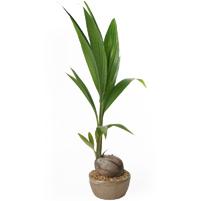 le cocotier Cocos-10