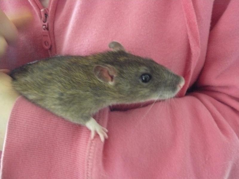 URGENT! Recherche adoptants pour sauvetage de plus de 30 rats 112