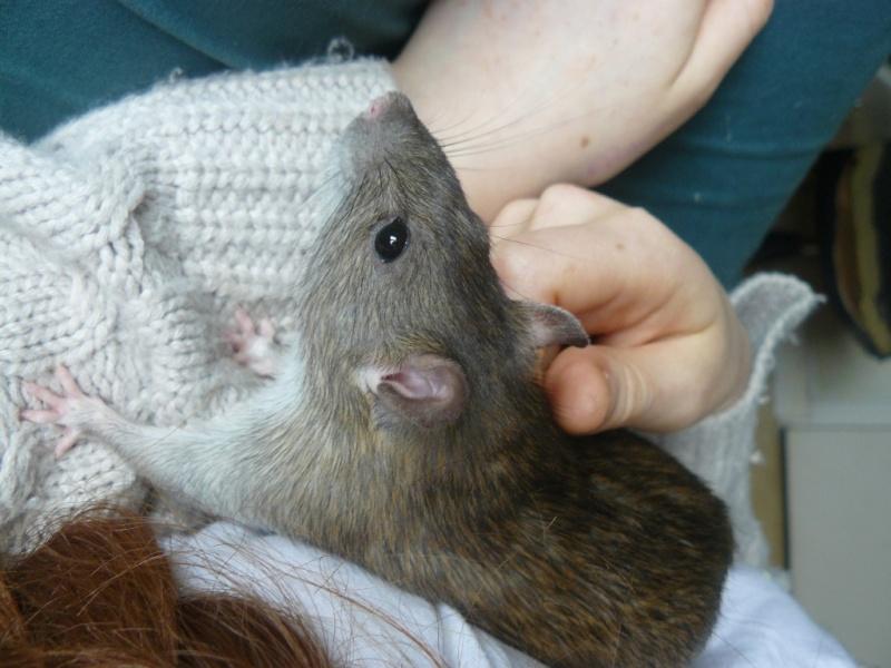 URGENT! Recherche adoptants pour sauvetage de plus de 30 rats - Page 3 211